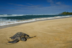 Green sea turtle, North Shore of O'ahu, Hawaii Royalty Free Stock Photos
