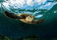 Free Green Sea Turtle On A Shallow Reef Royalty Free Stock Photos - 170238068