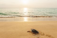Free Green Sea Turtle On The Tropical Beach At Sunset, Heading For The Ocean For The First Time. Khao Lampi-Hat Thai Mueang National Stock Image - 140357281