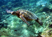 Green Sea Turtle Photo. A Hawaiian Green Sea Turtle Swimming Over a Coral Reef in Hawaii.  The Hawaiian Green Sea Turtle is an Endangered and Protected Species Royalty Free Stock Photography