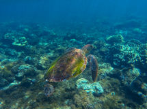 Green sea turtle photo in clean blue water. Sea turtle closeup. Stock Photo