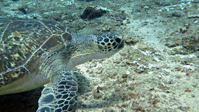 Green Sea Turtle Royalty Free Stock Photography