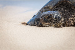 Green Sea Turtle Portrait. Portrait of a Green Sea turtle sunbathing on the beach. In Hawaii they call these turtles Honu royalty free stock image