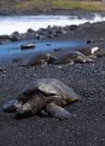 Green sea turtle at punalu'u Royalty Free Stock Image