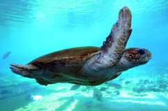 Green sea turtle Queensland Australia Stock Photos