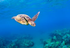 Green sea turtle reef Stock Image