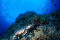 Green sea turtle in a reef Stock Images