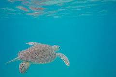 Green Sea Turtle Reflecting in the Surface Water Royalty Free Stock Image