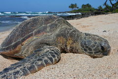 Green Sea Turtle Relaxing on Hawaiian Beach. Green Sea Turtle Relaxing on Hawaiian Brown Sand Beach with ocean and trees in the background Royalty Free Stock Photos