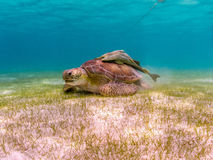 Green Sea Turtle with Remora Suckerfish on Shell, Akumal Mexico. Green Sea Turtle with Remora Suckerfish on Shell. Eating sea grass in the Caribbean waters of stock photos