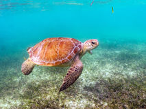 Green Sea Turtle with Remora Suckerfish on Shell Stock Photos