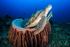 Green Sea Turtle with Remora swims out from a barrel sponge. Green Turtle with Remora leaves the comfort of a barrel sponge to surface for air stock image