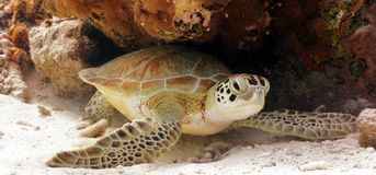 Green Sea Turtle. A resting green turtle royalty free stock photos
