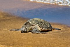 Green sea turtle resting on the beach on Maui. Stock Photography
