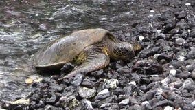 Green Sea Turtle Resting on Beach. A green sea turtle resting on a rocky Maui beach stock footage