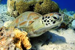 Green Sea Turtle. A Green Turtle resting and looking at me stock photography