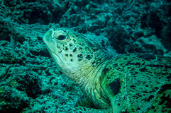 Green sea turtle resting on the reefs in Derawan, Kalimantan, Indonesia underwater photo Royalty Free Stock Image