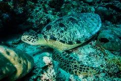 Green sea turtle resting on the reefs in Derawan, Kalimantan, Indonesia underwater photo Royalty Free Stock Image