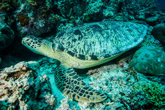 Green sea turtle resting on the reefs in Derawan, Kalimantan, Indonesia underwater photo Stock Photos