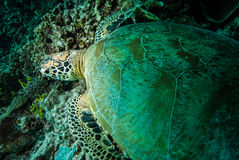 Green sea turtle resting on the reefs in Derawan, Kalimantan, Indonesia underwater photo Royalty Free Stock Images