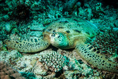 Green sea turtle resting on the reefs in Derawan, Kalimantan, Indonesia underwater photo Stock Photography