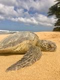 Green sea turtle resting on the sand at beach in Hawaii Royalty Free Stock Images