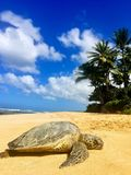 Green sea turtle resting on the sand at beach in Hawaii Stock Photo
