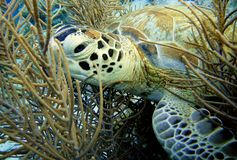 Green Sea Turtle. A Green Turtle resting in the soft coral royalty free stock photography
