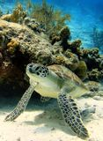 Green Sea Turtle. A Green Turtle resting under a coral royalty free stock photography
