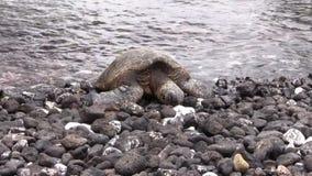 Green Sea Turtle on Rocky Beach. A green sea turtle resting on a rocky Maui beach stock footage