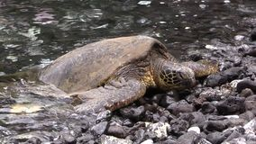 Green Sea Turtle on Rocky Maui Beach. A green sea turtle resting on a rocky Maui beach stock video footage