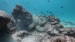 Green Sea Turtle Rubbing its Shell To The Rock. stock video footage