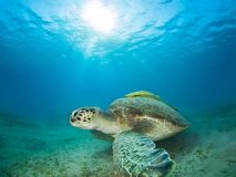 Green sea turtle in a sea grass meadow with a remora on its shell. Red Sea, Egypt stock photography