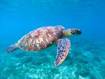 Green sea turtle in sea water. Cute sea turtle closeup. Marine species in wild nature. Stock Image