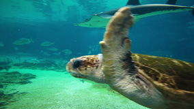Green sea turtle in Sea World Gold Coast Queensland Australia. GOLD COAST, AUS - JUN 21 2015: Green sea turtle in Sea World Gold Coast Queensland Australia stock video