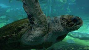 Green sea turtle in Sea World Gold Coast Queensland Australia. GOLD COAST, AUS - NOV 1 2014:Green sea turtle in Sea World Gold Coast Queensland Australia.It grow stock footage