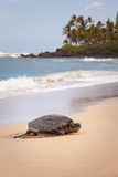 Green Sea Turtle Seascape. The green sea turtle, also known as the green turtle, black turtle, or Pacific green turtle, is a large sea turtle of the family stock photo