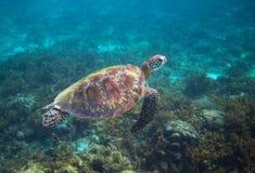 Green sea turtle in seaweed underwater. Tropical nature of exotic island. Olive ridley turtle in blue sea water. Sea tortoise in tropical lagoon. Undersea Stock Image