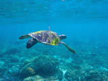 Green sea turtle seeking for food in blue seashore water Royalty Free Stock Images