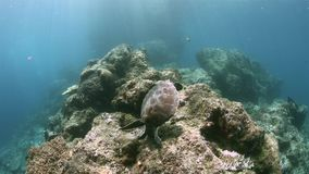 Turtle on a coral reef in Raja Ampat Indonesia 4k. Green sea turtle on a shallow coral reef.  South Raja Ampat dive site Candy store 4k footage stock footage