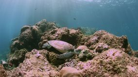 Turtle on a coral reef in Raja Ampat Indonesia 4k. Green sea turtle on a shallow coral reef.  South Raja Ampat dive site Candy store 4k footage stock video footage