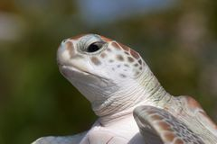 Green Sea Turtle Side Portrait. Front lighting Royalty Free Stock Photo