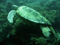Green sea turtle sipadan coral reef Royalty Free Stock Photography
