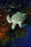 Green Sea Turtle, Sipadan Island, Sabah Royalty Free Stock Photos