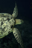Green Sea Turtle, Sipadan Island, Sabah Royalty Free Stock Images