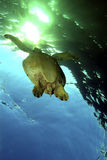 Green Sea Turtle, Sipadan Island, Sabah Royalty Free Stock Image