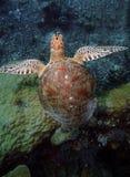 Green Sea Turtle, Sipadan Island, Sabah stock photo