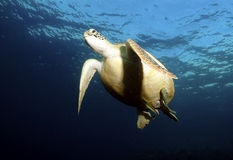 Green Sea Turtle, Sipadan Island, Sabah Stock Image