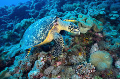Green Sea Turtle sitting on a colorful coral reef Stock Photos