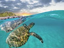 Green Sea Turtle Split Shot with Sunset, Green Vegetation and Ocean in Maui, Hawaii. royalty free stock image